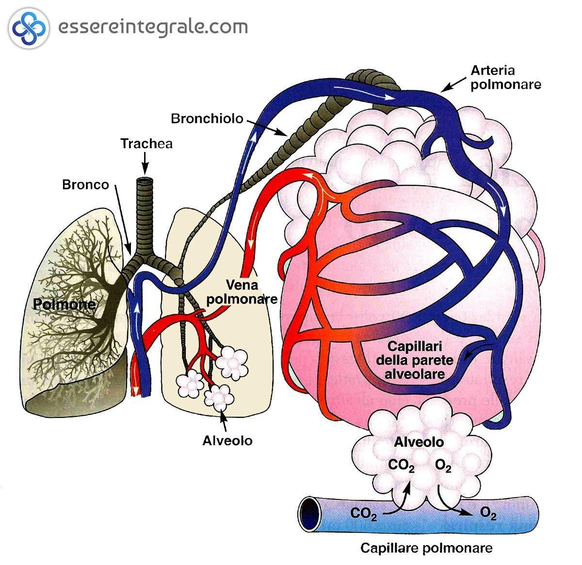 Alveoli polmonare